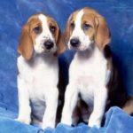foxhound-ingles-filhotes