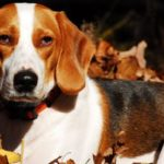 foxhound-ingles-marrom