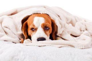 Hematúria – Seu cão está urinando sangue?