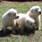 pastores-maremano-abruzes-especie-particularidades-e-saude