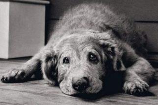 Síndrome da disfunção cognitiva canina (SDCC)