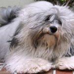 bichon-havanes-cinza