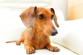 Desenvolvimento dos filhotes de cachorro