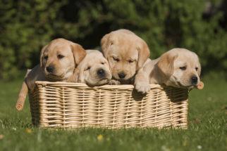A convivência de filhotes com outros cães