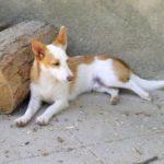 galgo-de-ibiza-filhote