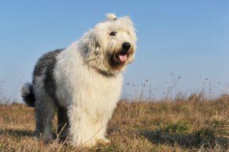 Bobtail (old english sheepdog) – Saiba mais sobre esta raça