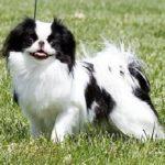 spaniel-japones-cachorro