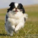 spaniel-japones-dog