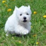 west-highland-white-terrier-baby
