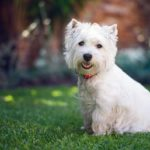 west-highland-white-terrier-cao