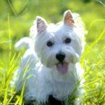 west-highland-white-terrier-caracteristicas-dicas-e-cuidados