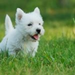 west-highland-white-terrier-filhote