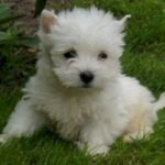 west-highland-white-terrier-puppy