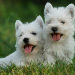 west-highland-white-terriers