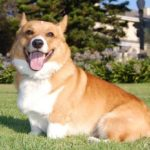 welsh-corgi-pembroke-adulto