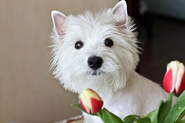 O west highlander white terrier é uma das raças mais populares do mundo