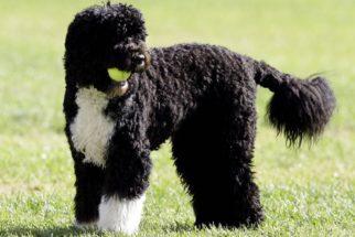 Raças de cachorros para donos alérgicos