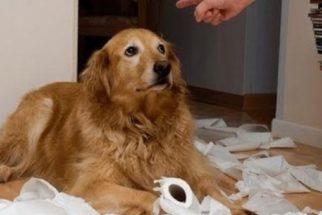 Cachorros não se sentem culpados quando aprontam!