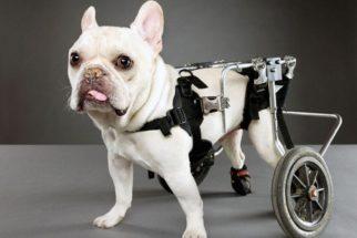 Como cuidar de cães deficientes?