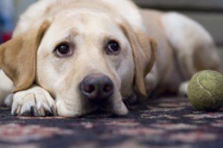 Depressão em cães: causas, sintomas e tratamentos