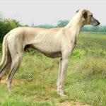 galgo-hungaro-branco