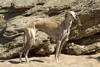 Greyhound – Saiba tudo sobre esta raça