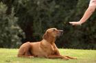 como-ensinar-o-comando-fica-ao-cachorro