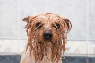 Saiba por que os cães fedem quando estão molhados!