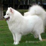 cachorro-samoieda-peludo