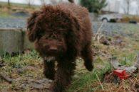 Cão d'água frison