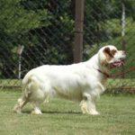 clumber-spaniel-foto-cachorro