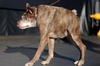 Conheça os considerados 'cachorros mais feios do mundo'