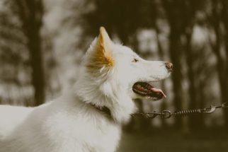 Conhecendo os raros e fofos cães albinos
