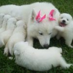 mae-filhotes-samoieda