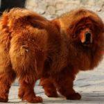 mastim-tibetano-o-cao-mais-caro-do-mundo