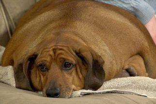 Obesidade em cães: saiba tudo sobre este assunto