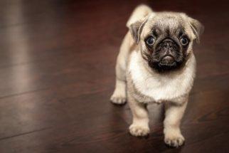 Qual nome escolher para meu pug?