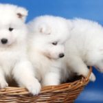 samoieda-cesta-filhotes