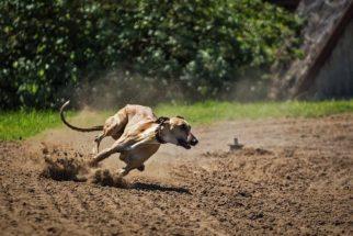 As duas raças de cachorros mais rápidas