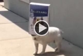 Cão buldogue transforma caixa de papelão em brinquedo