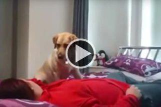 Cão de serviço ajuda sua dona durante convulsão