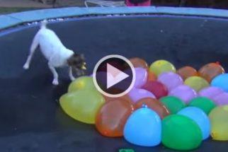 Diversão: conheça o cão que adora estourar balões d'água