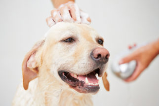 Por que o cão fica animado após o banho?