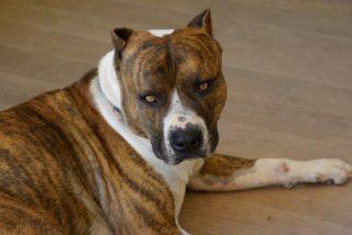 Saiba como educar corretamente um cão 'destruidor'