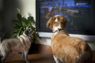 TV para cachorros: conheça este serviço incrível