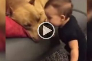 Vídeo de pais que encorajam bebê a beijar pit bull levanta debates