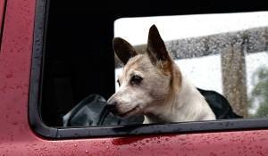 cachorro-enjoado-em-viagens-de-carro-o-que-faco