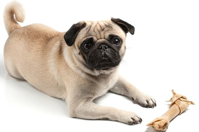 Ossos de couro são super perigosos para cães pois podem causar asfixia e problemas gastrointestinais