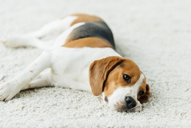 como induzir vomito do cachorro