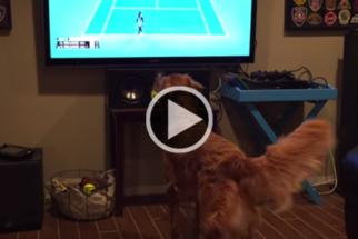 Cão fica alegre e eufórico ao assistir partida de tênis